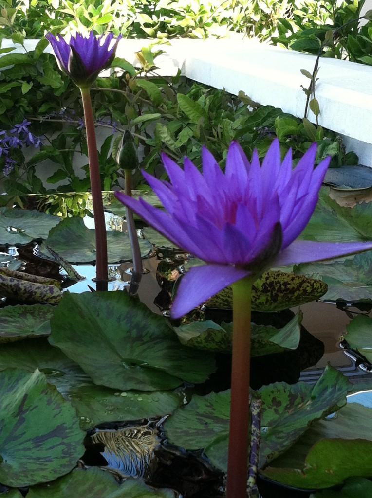 Bleu NGC Flower show